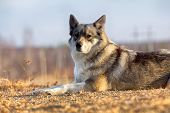 The East Siberian Laika (related Breed Husky). poster