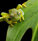 image of glass frog  - tree frog in Brazil tropical amazon rain forest beautiful night animal and endangered amphibian green frog sitting on green leaf nice background with copy space small glass frog macro - JPG