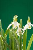 foto of snowbell  - Snowdrop flowers - JPG
