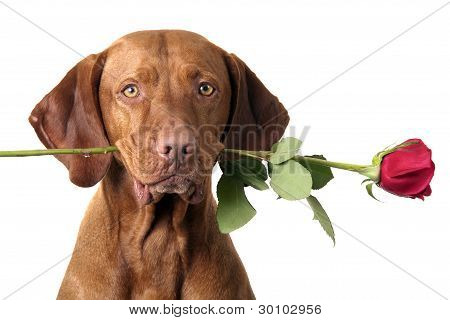 Dog With Rose In Mouth