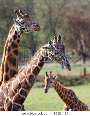 Three Giraffe Family Narrow Dof