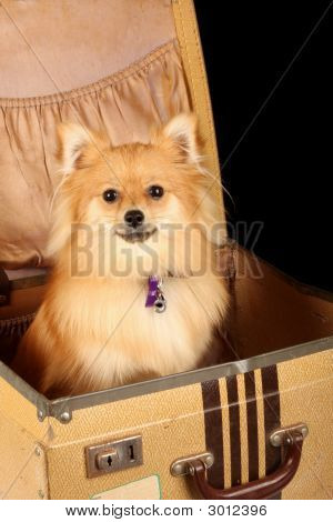 Pomeranian Puppy Dog In Suitcase