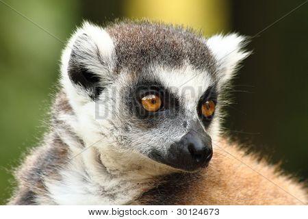 Head Of Lemur Monkey