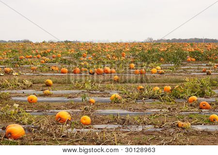 Large Pumpkin Patch Stretching Across Many Acres
