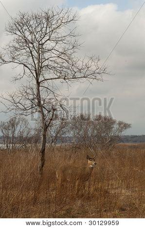 Doe in winter field