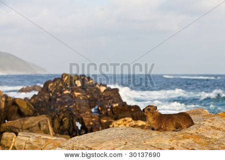 Hyrax Sitting At The Rocky Coastline