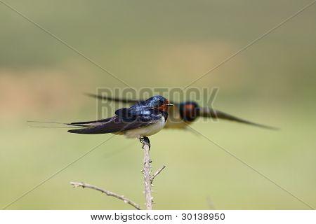 The two barn swallows (Hirundo rustica)