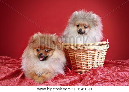 Spitz Puppies (5 Month)