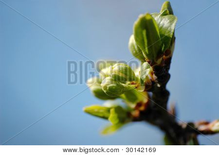 Young leaves on a tree