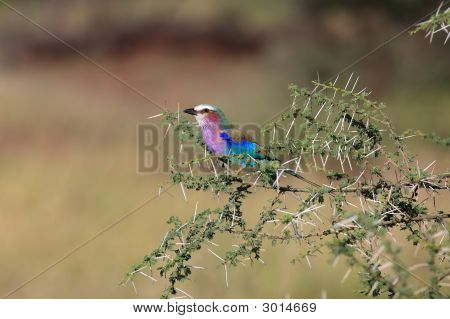 Lilac Brested Roller On Whistling Torn Accacia