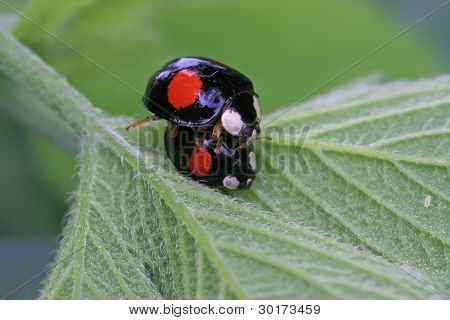 Mating Ladybug On Green Leaf