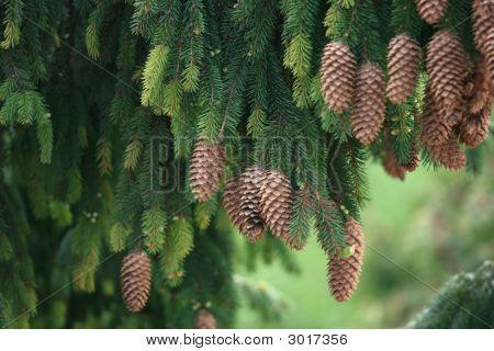 A Pine Tree