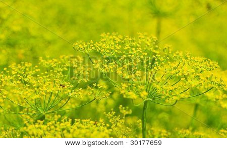 Flowering Dill
