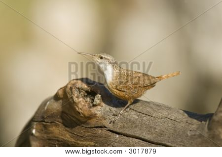Canyon Wren thront