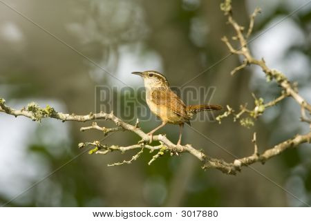 Carolina Wren Perched