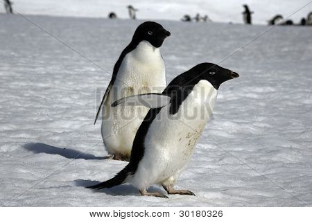 Antarctic Expedition (Adelie Penguin)