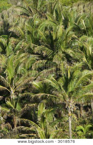 Palm Trees On Maui.