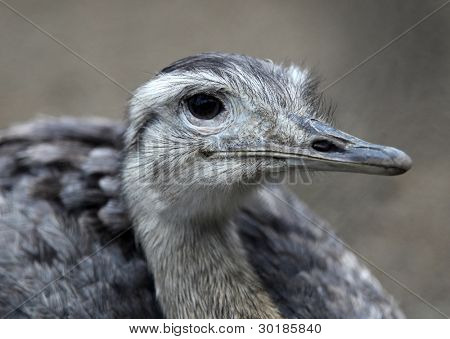 Nandu Greater Rhea