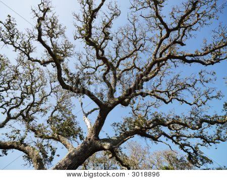 Live Oak Tree.