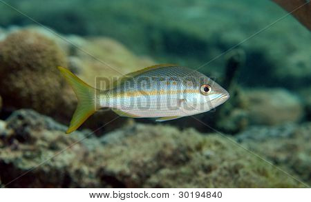 Solitary Yellowtail Snapper