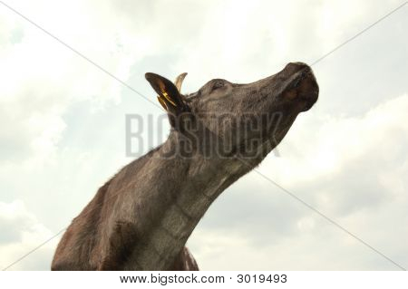 Cow Looking Up