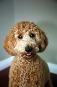 Golden doodle dog. Beautiful Golden Doodle Dog portrait. Family pet.    poster