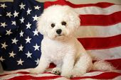 Bichon Frise Dog. American Flag Background.  poster