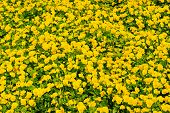 Spring Or Summer. Yellow Pansies With Green Leaves In Hamilton, Bermuda. Pansy Flowers In Spring Or  poster