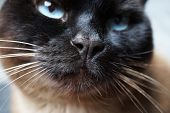 Siamese Cat Nose And Snout Macro Close-up poster