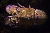Mediterranean slipper lobster (Scyllarides latus), also known as the Mediterranean locust lobster. poster
