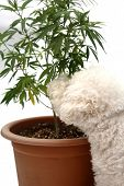 Dog with a Marijuana Plant. Cannabis plant growing in potting soil. isolated on white. room for text poster