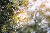 Olives in bloom. Olive trees garden. Mediterranean olive field, spring season. Italian olives grove poster