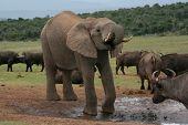 Постер, плакат: Африканский слон и буйволов
