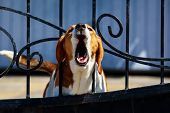 Dog Breed Beagle Barking Behind Metal Wrought Fence poster