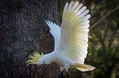 Wild Sulphur-crested Cockatoo Landing On A Tree Stump With Its White Wings In Full Wingspan, Bright  poster