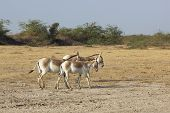 picture of horses ass  - a small group of wild asses on the little rann of kutch in gujarat india
