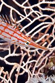 foto of hawkfish  - Longnose hawkfish taken in de Red Sea - JPG