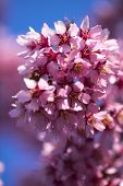 Oriental Cherry Blooming poster