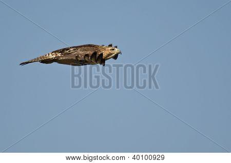 Imaturo falcão Vermelho - atado voando com alcance estendido