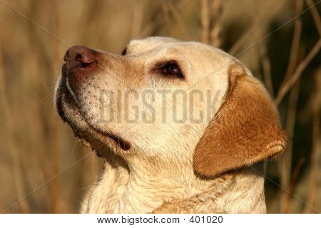 Labrador Retriever Portrait
