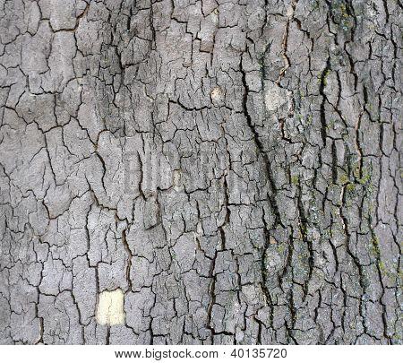 Cortex Of The Alder With Lichen - Texture