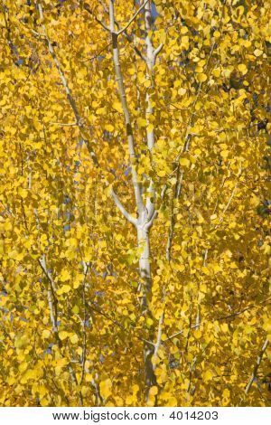 Yellow Gold Quaking Aspen Tree Leaves Close Up Leavenworth Washington