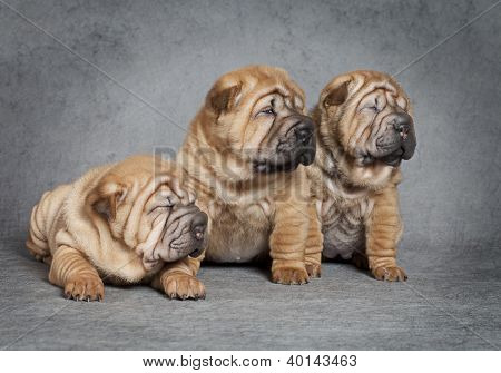 Portrait Of Sharpei Puppies