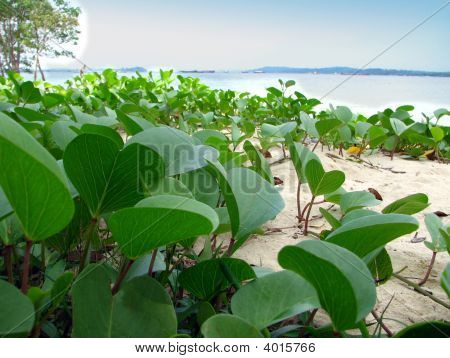 Beach Creepers Plants