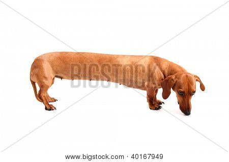 An isolated stretched dachshund on a white background.