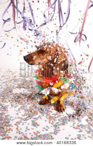 An isolated dachshund on a white background enjoying the party.