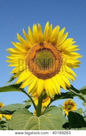 Closeup Sunflower On The Field On A Summer Morning