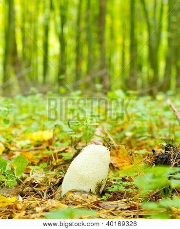 Young Mushroom (phallus Impudicus)