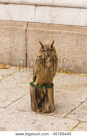 The Eurasian Eagle-owl (bubo Bubo)
