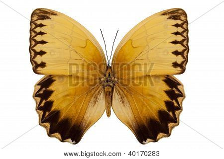 "Butterfly Species Stichophthalma Howqua Suffusa ""jungle Queen Butterfly"""